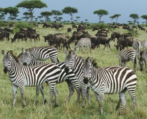 FROM-AFRICA-KENYA-FOREST-ZEBRAS-ANIMALS