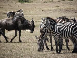 zebres afriques